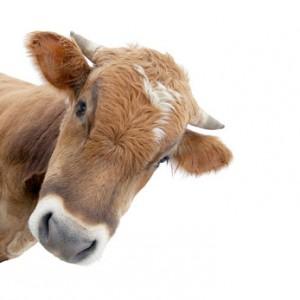 cows face