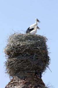 Storks in stork nest